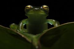 Emerald Glassfrog (Espadarana prosoblepon)