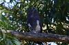 Bat Hawk  (Macheiramphus alcinus) by Ian N. White