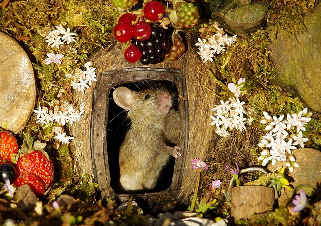 George the mouse in a log pile house standing at door (3)