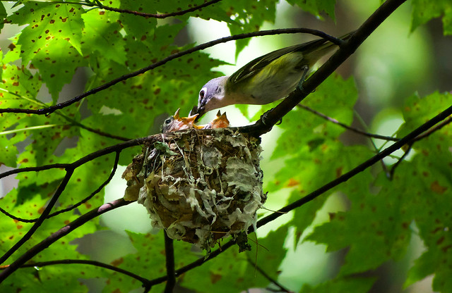 Blue-headed Vireo feeding chicks