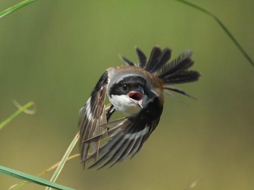 紀錄棕背伯勞和彩鷸父子的一段相遇 A meeting of Black-headed Shrike and Painted Snipes 8-7 | by Changhua Coast Conservation Action