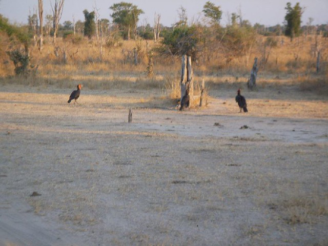 Ground Horn Bills in South Luangwa park