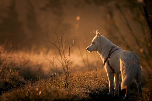 autumn light orange herbs wild provence husky nature dog nikon d300s f4 benro tripod