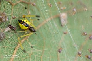Comb-footed spider (Tidarren sp.) - DSC_4198