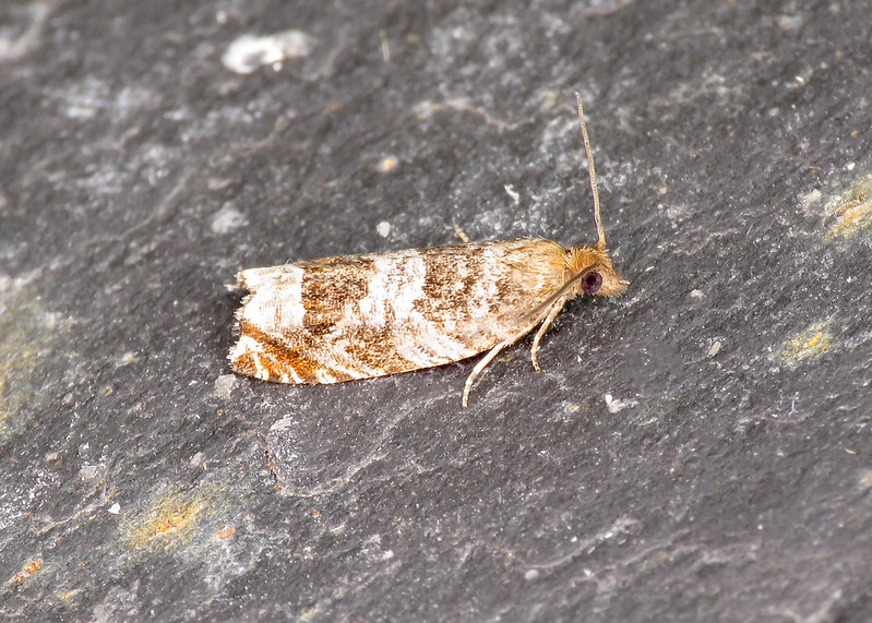 49.215 Triangle-marked Roller - Ancylis achatana