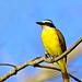 Great kiskadee - Tyran quiquivi - Bienteveo común - Pitangus sulphuratus