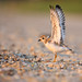 <p>Piping Plover<br /> Suffolk County, NY</p>