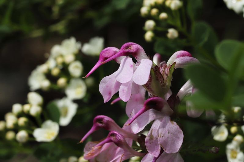 Pedicularis japonica  ヨツバシオガマ