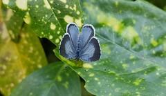 Holly Blue; Celastrina argiolus.