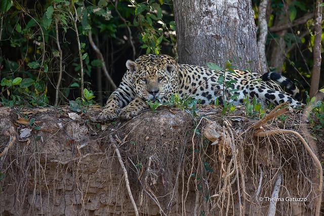 Spotted Jaguar