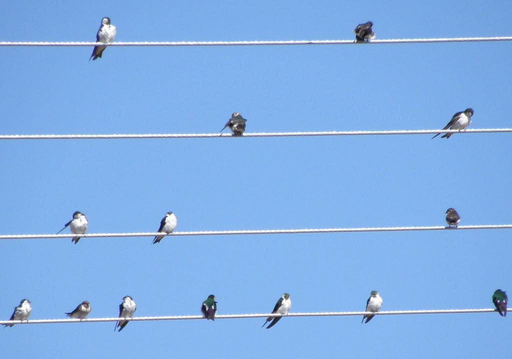 P7312036...violet-green swallows  14x