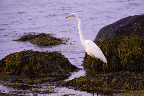 animal art beach bird birding coast color dawn fine flight fly heron image landscape morning nature ocean peace photo photography print quiet reflection sea shore sunrise water white wildlife