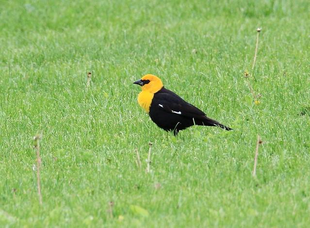 *Yellow-headed Blackbird / Carouge à tête jaune ( LIFER )