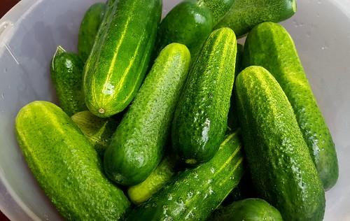 Cucumber harvest #gyo | by chalkahlom