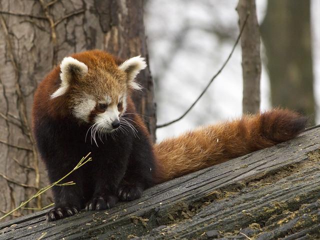Red Panda, Chester Zoo, UK