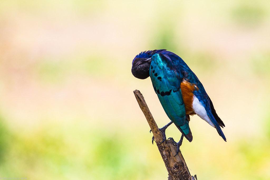 Graur_Tanzania 03_01_iul18