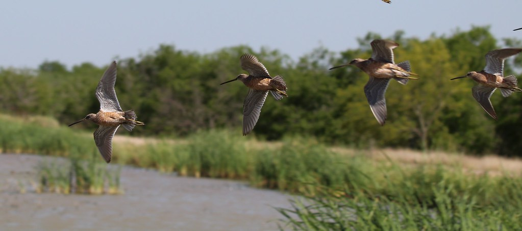 Dowitchers in flight