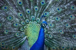 Peacock | by jan_mosimann