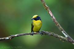 THICK-BILLED EUPHONIA 6