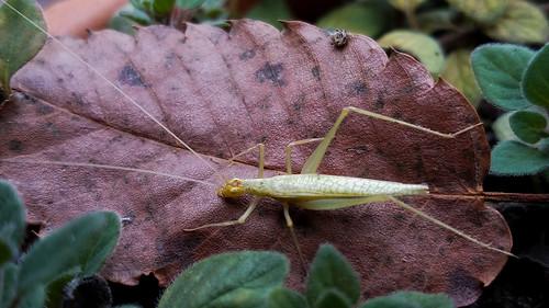 28217 charlotte fauna mecklenburgcounty nc northamerica northcarolina orthoptera usa unitedstatesofamerica deadleaf familytettigoniidae insect katydid riverbirch betulanigra