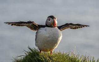 Fly, Puffin, fly | by katrin glaesmann