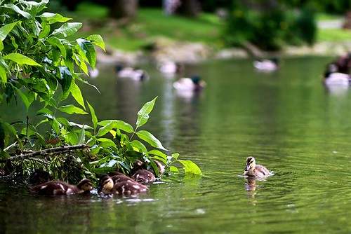 Ducklings at the VT Duck Pond. | by Killfile