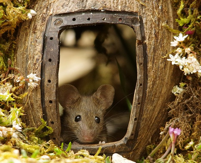 George the mouse in a log pile house (12)