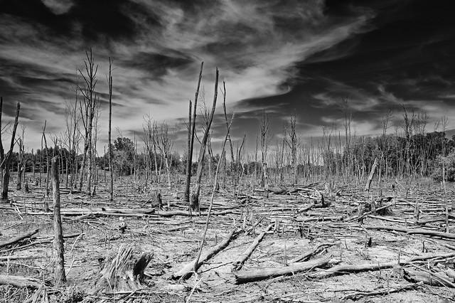 Dead trees. Michigan