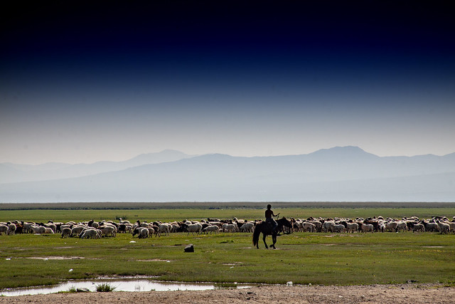 Herding Sheep In Mongolia