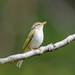 センダイムシクイ(Eastern crowned willow warbler)