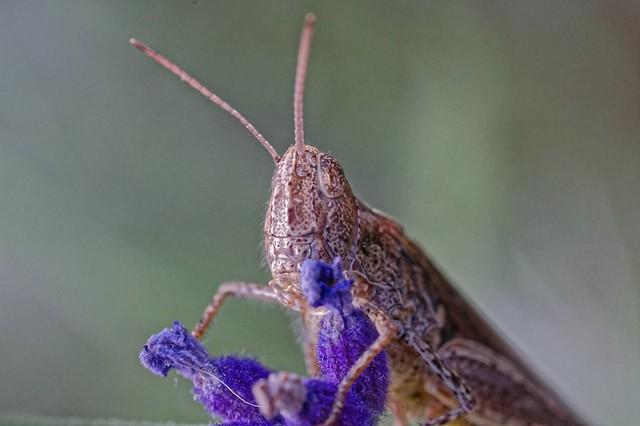 Portrait einer Heuschrecke
