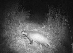 Dachs - Wildkamera in unserem Garten - Badger - Trail-Camera in our garden
