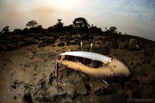 ucatangeri guineabissau africa crab fidler mud bubaque bijagos macro wideanglemacro