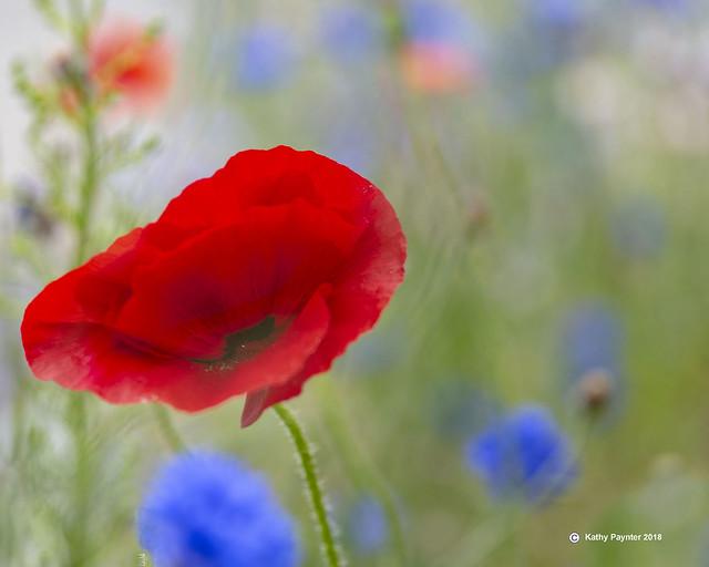 Poppy 6281