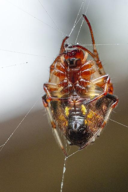 Verrucosa arenata, DeKalb County, Tennessee 1