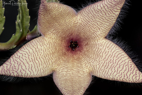 Stapelia gigantea | by Gabriel Paladino Photography