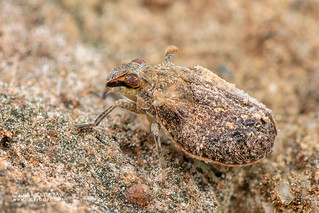 Planthopper (Togoda sp.) - DSC_5820
