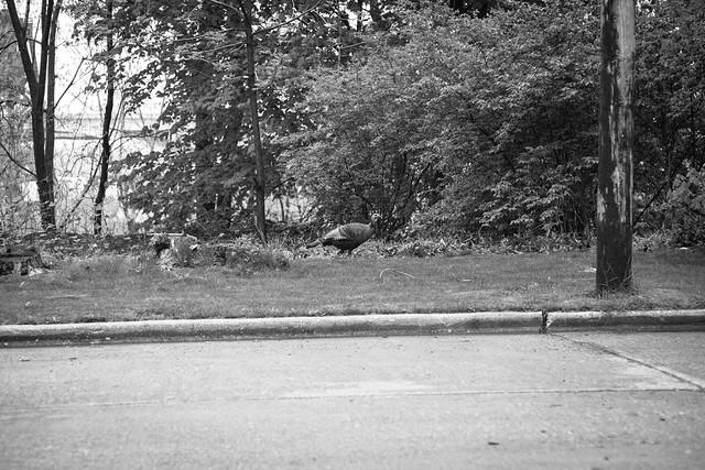 urban turkey