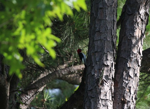 red headed Woodpecker Lufkin TX | by johnd1964