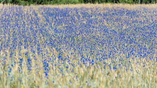 Kornblumen  - Cornflowers