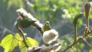 Orange-chinned Parakeet Brotogeris jugularis