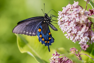 Pipevine Swallowtail | by Bernie Kasper (5 million views)