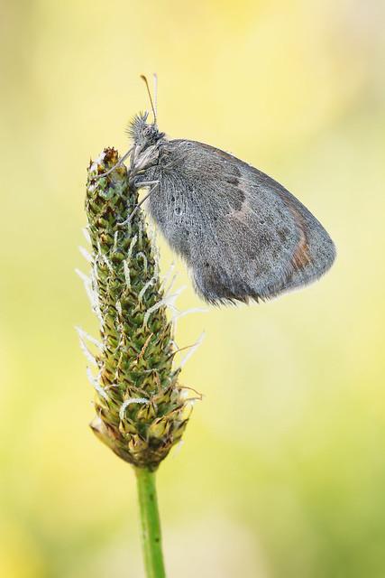 Coenonympha pamphilus