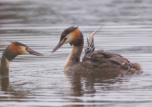 IMG_Great crested grebe   by Weja 68