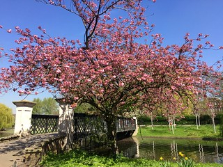 Regent's Park cherry blossom 2018 | by Fran Pickering