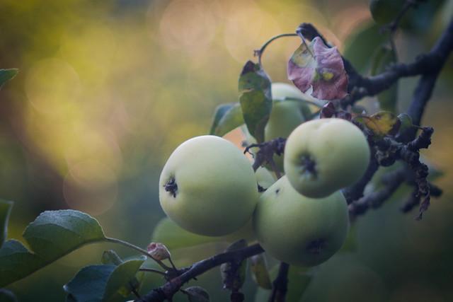 Weißer Klarapfel