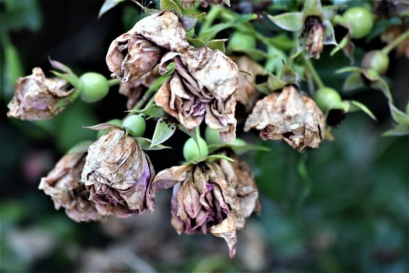 Rose 22.07 (1)