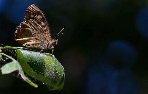 wimboon vlinder butterfly macro macrofotografie canoneos5dmarkiii canon100mmf28lismacro nederland netherlands natuur nature alblasserwaard alblasserdam