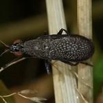 Melierte Schneckenfliege (Coremacera marginata)