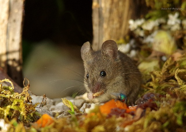 wild house mouse in a log pile house (1)